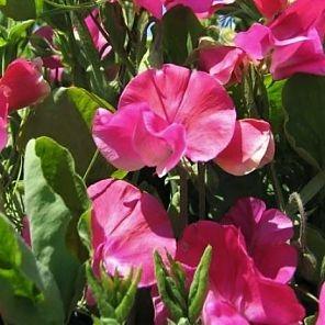 wholesale flowers | sweetpeas hot pink