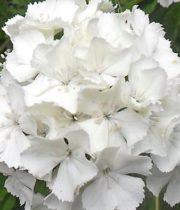 Sweet William-white