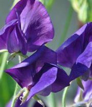 Sweet Peas-purple
