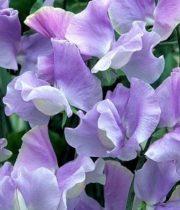 Sweet Peas-lavender
