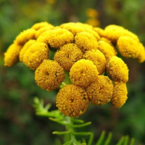 tansy-yellow