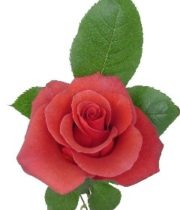 Rose, Terracotta-SA