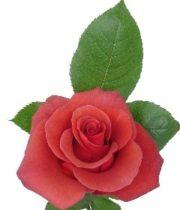 Brown Terracotta 50cm Roses, SA
