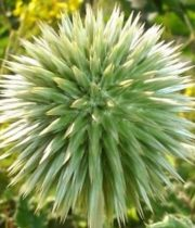 Thistle-green