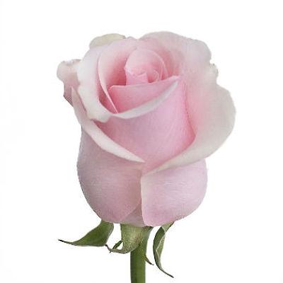 wholesale flowers | rose titanic