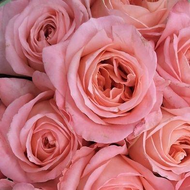 wholesale flowers | garden rose true love