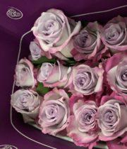 Rose, S.A.-Purple Haze 50CM-purple/lavender