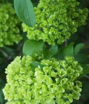 Viburnum, Snowball-green