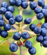Viburnum, Blueberry-navy/blue