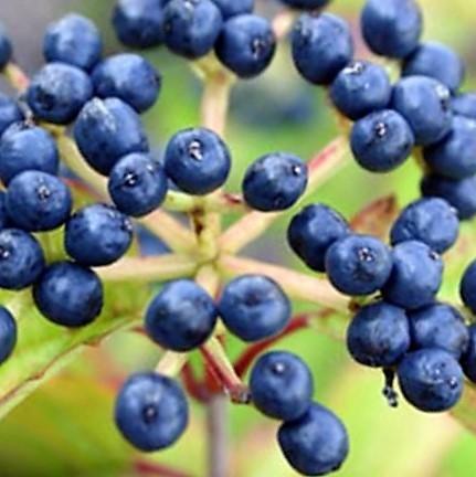 viburnum=berry