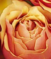 Rose Garden Spray, Victorian Spirit-SA