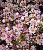 Waxflower-blush