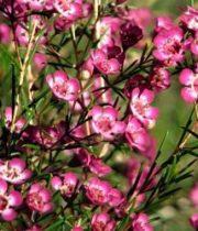 Waxflower-hot Pink