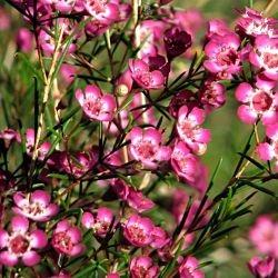 wholesale flowers | waxflower pink