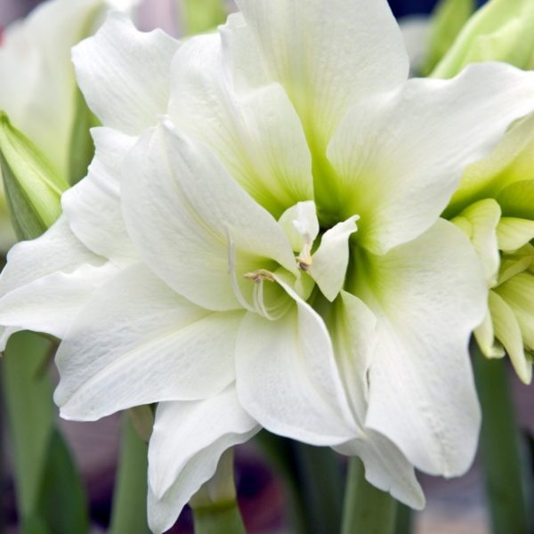 amaryllis white Wholesale