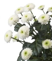 Mums, Spray-Button-white