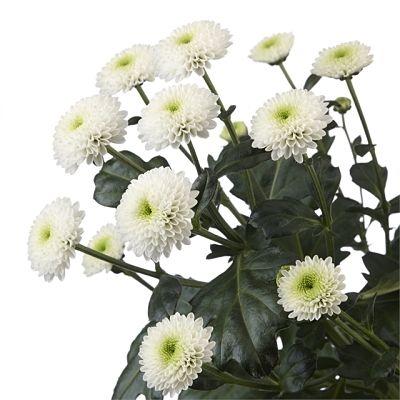 wholesale flowers | spray mums- button white