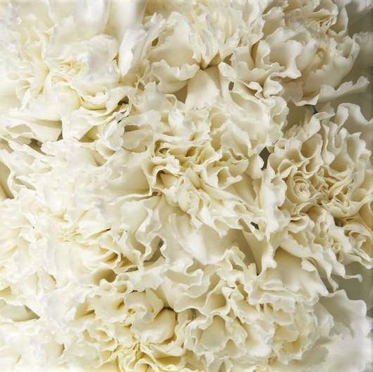 wholesale carnation white