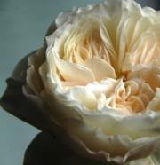 Rose Garden, White Cloud-SA