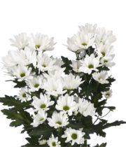 Mums, Spray-Daisy-white