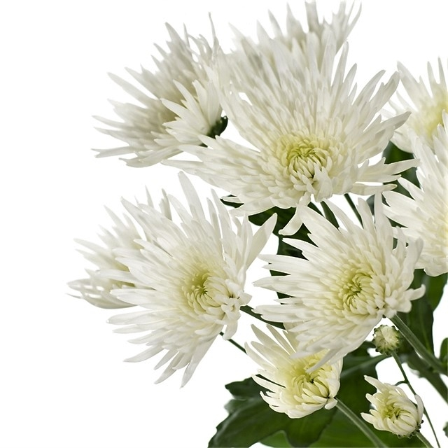 wholesale flowers | mums- spider white
