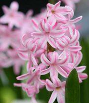Hyacinth-light Pink