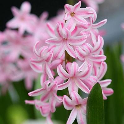 Wholesale Hyacinth-light Pink