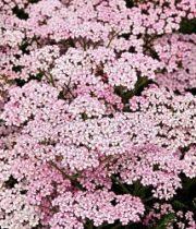 Yarrow, Cottage-light Pink
