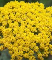 Yarrow, Cottage-yellow