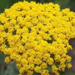 wholesale flowers | yarrow yellow