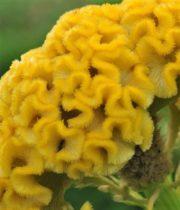 Celosia, Coxcomb-yellow