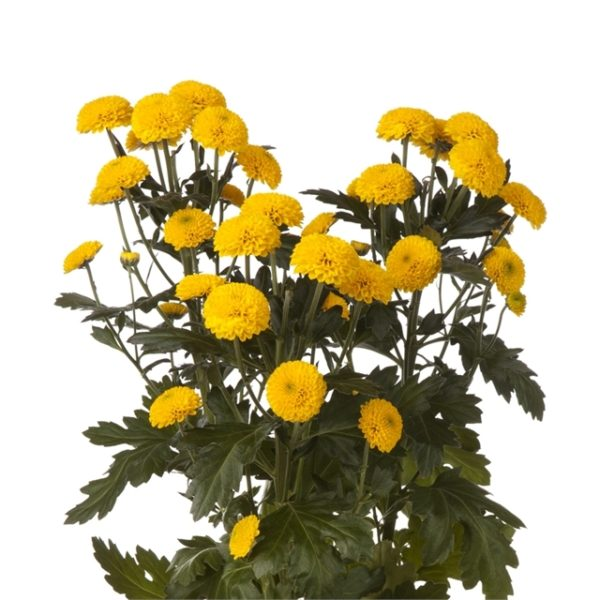 Buy fresh,locally grown yellow button mums for weddings, parties