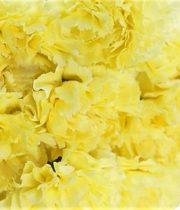 Carnations-yellow