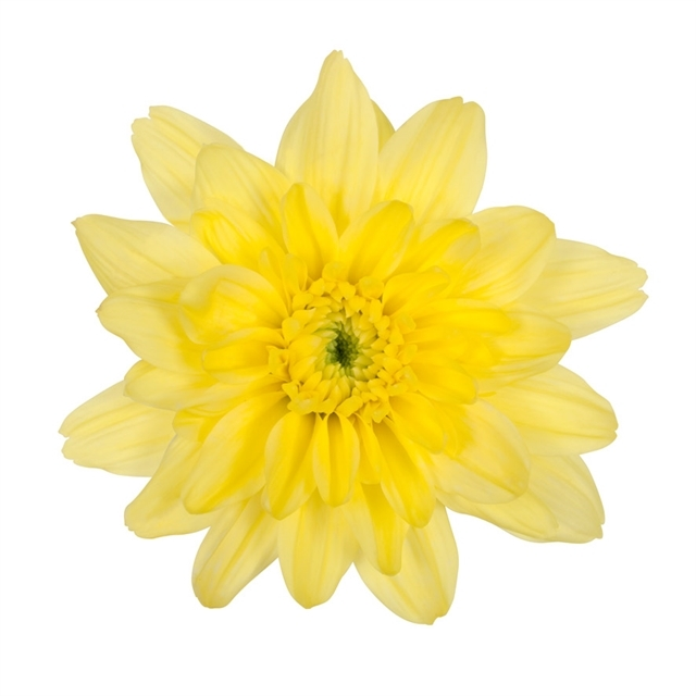 Buy fresh,yellow cushion mums for weddings, parties and your home décor