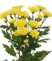 Mums, Spray-Cushion-yellow