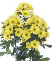 Mums, Spray-Daisy-yellow