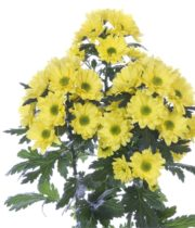 Mums, Spray-Daisy-yellow