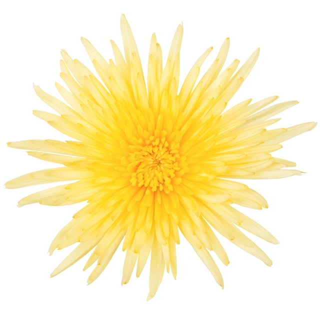 Buy the freshest yellow spider mums available for weddings