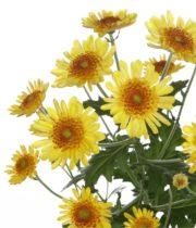 Mums, Spray-Novelty-Sunflower-yellow