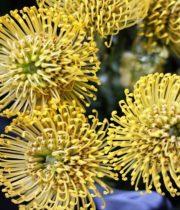 Wholesale Flowers | Protea Pincushion Yellow