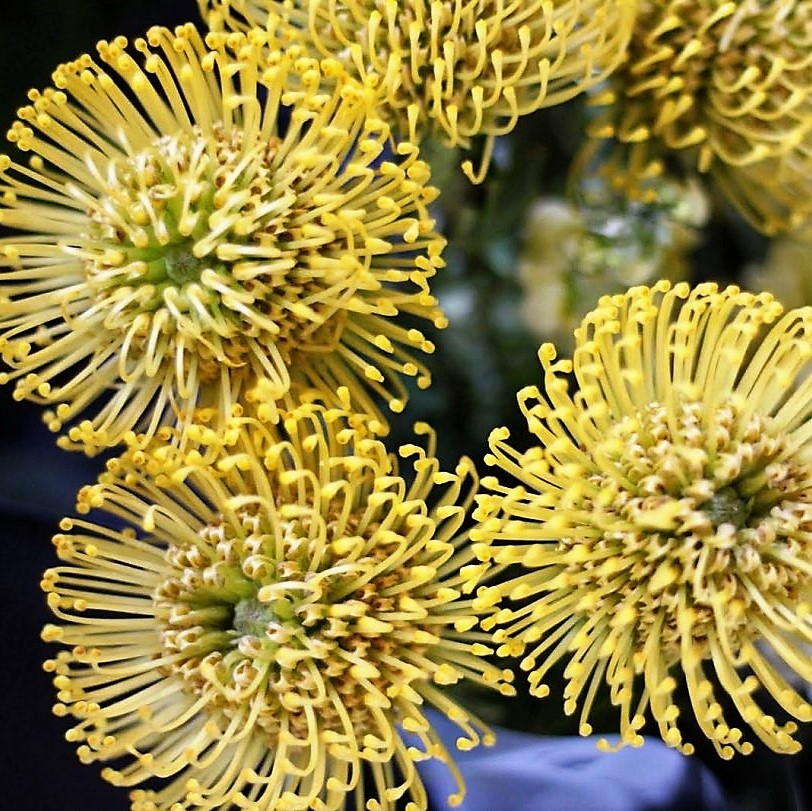 wholesale flowers | protea pincushion yellow