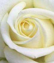 Rose, CA-Avalanche-white
