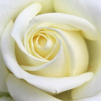 wholesale flowers | rose avalanche