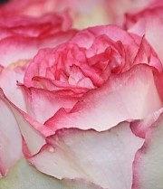 Rose, Bella Vita-CA