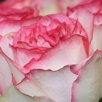 wholesale flowers | rose bella vita