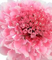 Scabiosa, Marshmallow Scoop-light Pink