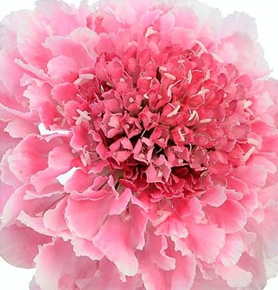 wholesale flowers | scabiosa marshmallow