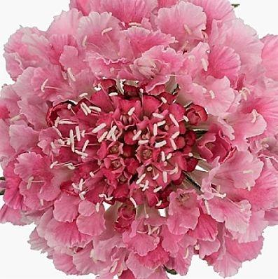 wholesale flowers | scabiosa cotton candy