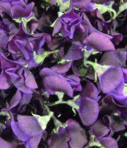 Sweet Peas, Japanese-purple