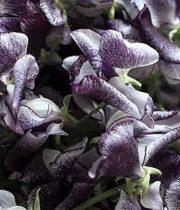 Sweet Peas, Japanese-purple/white